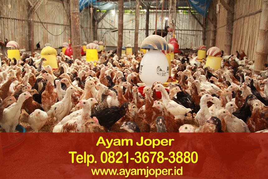 Cara Pemeliharaan Ayam Joper – Jual Ternak Ayam Joper Agar ...